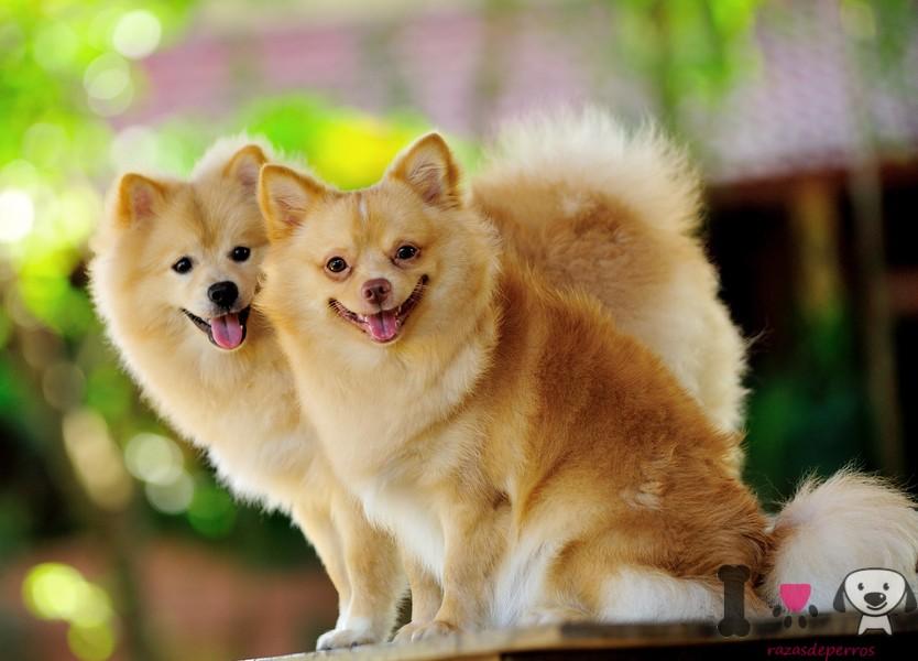 Dos perros adultos Lulú de pomerania