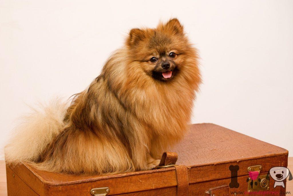 Foto de Lulu de pomerania adulto guardando la maleta