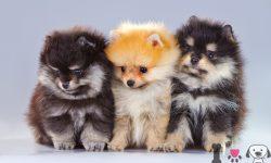 Foto de cachorros lulu de pomerania