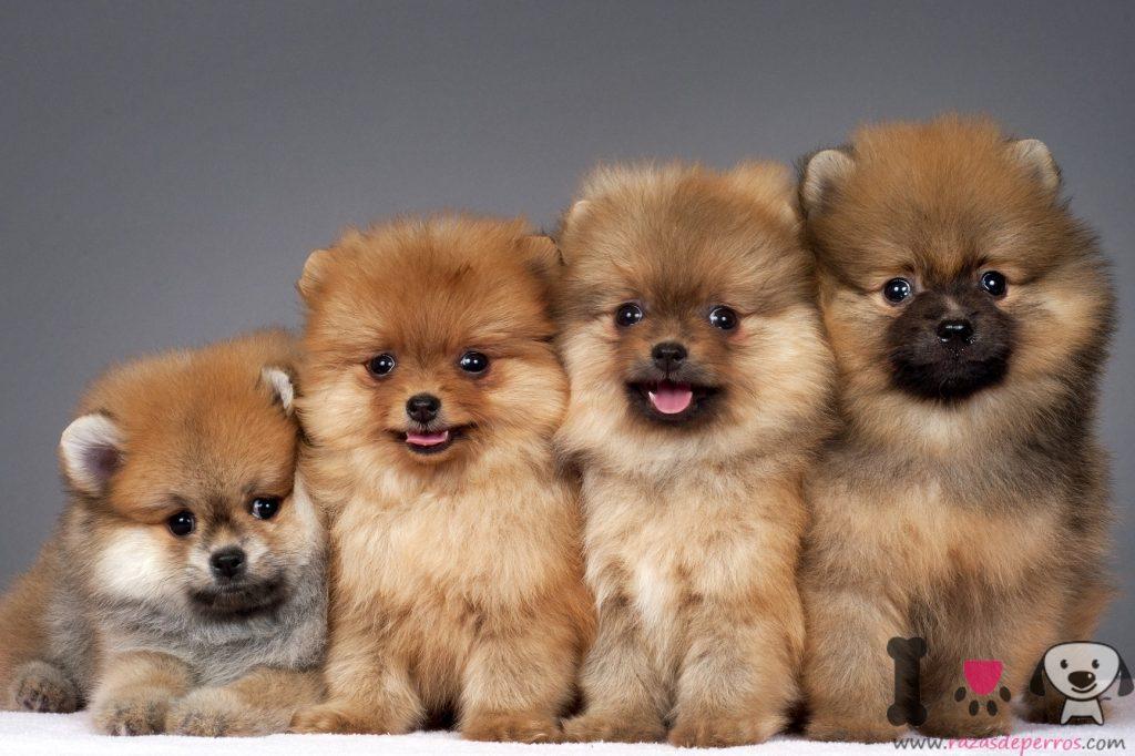 Foto de 4 cachorros de la raza lulú de pomerania