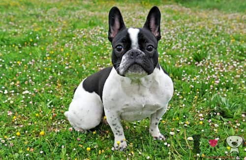 bulldog francés macho blanco y negro en el jardín