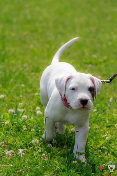 cachorro de dogo argentino