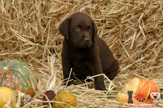 cachorro de labrador retriever color chocolate