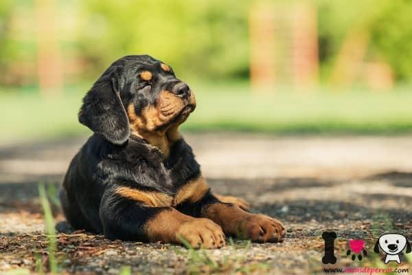 cachorro rottweiler con 3 meses