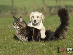 Cachorro de labrador y un gato