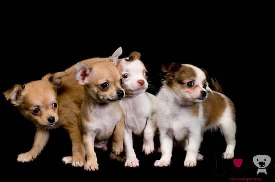 cachorros de chihuahua con dos meses