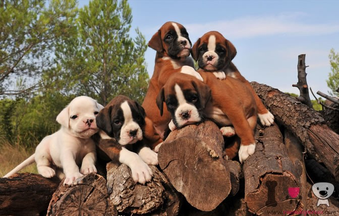 5 cachorros de bóxer