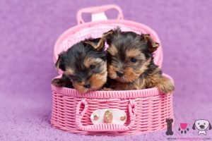 cachorros yorkshire cesta rosa