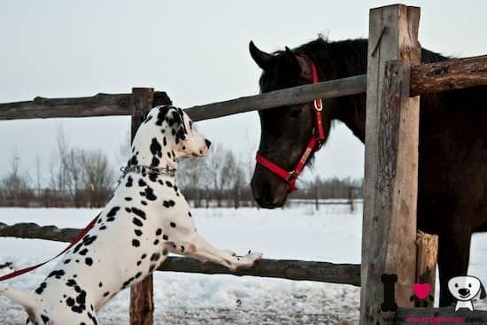 dálmata macho mirando un caballo negro