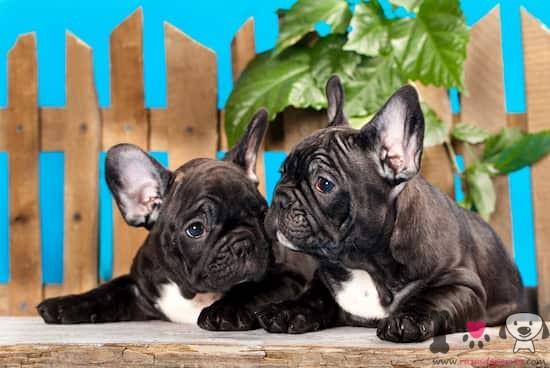 dos cachorros de bulldog