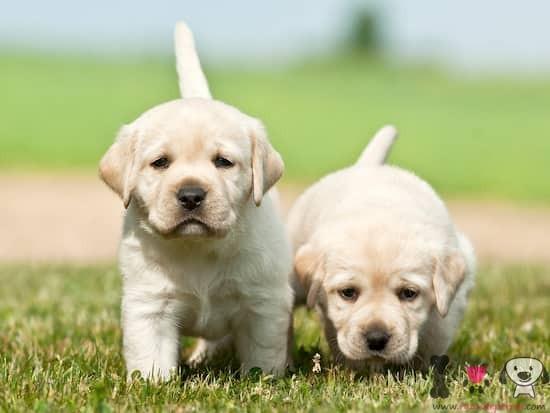 dos cachorros de labrador retriever