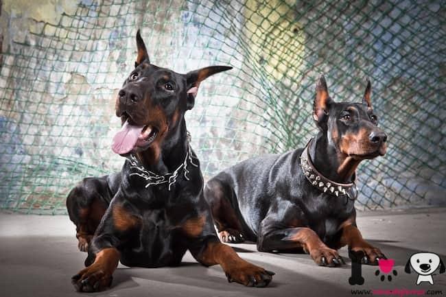 dos impresionantes perros de raza dóberman