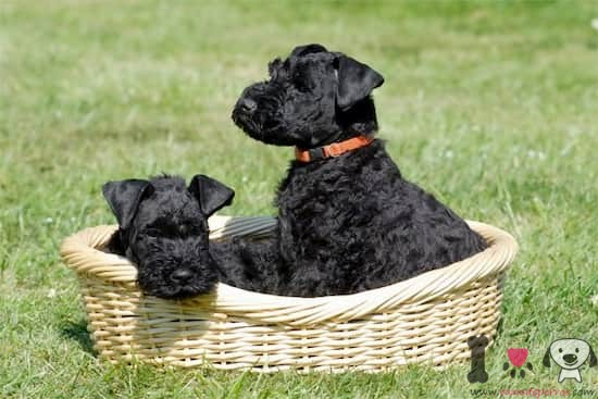 dos perros raza kerry blue terrier