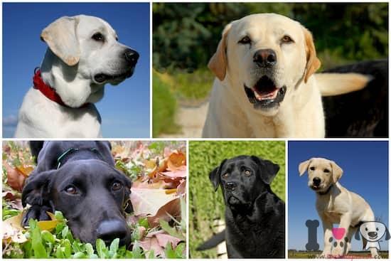 fotografías de perros labrador retriever