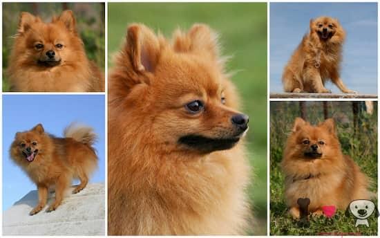 fotografías de perros lulú de pomerania