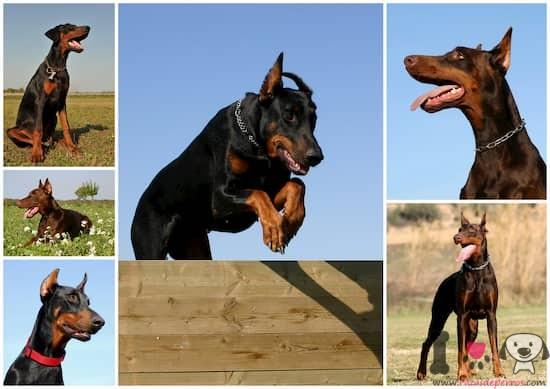 fotografías de preciosos perros doberman adultos