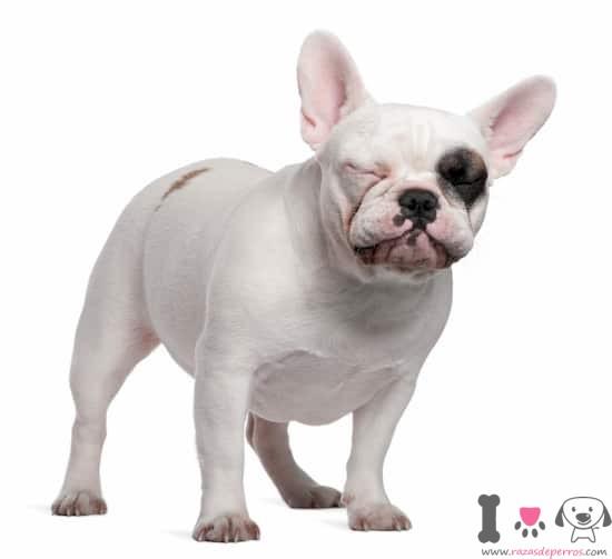 hembra de bulldog blanca con un parche negro en el ojo