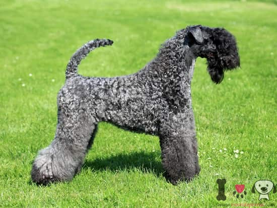 macho de kerry blue terrier gris