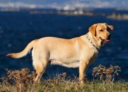 perro de raza labrador