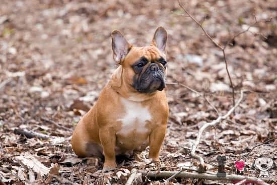 perro raza bulldog francés de pelo marrón