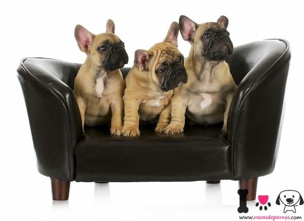 tres cachorros bulldog francés