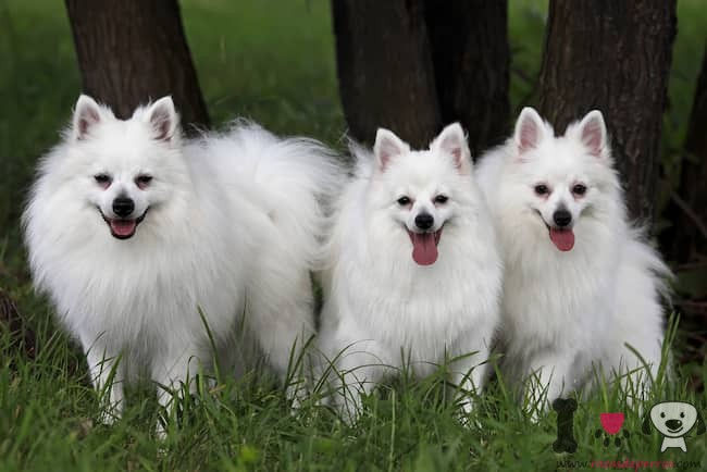 volpinos italianos color blanco