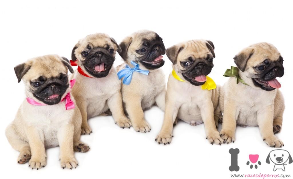 Precio del pug razas de perros - Comida para cachorros de un mes ...