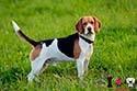 beagle perro mediano