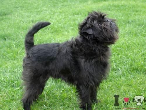 Perro pequeño de raza affespincher