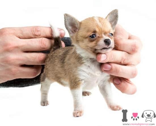 Cachorro de chihuahua con 1 mes y medio