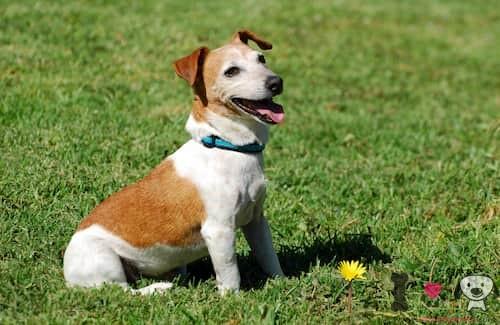 Jack rusell terrier blanco y marrón
