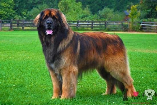 raza de perro grande leonberger