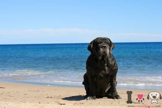 Mastín napolitano en la playa