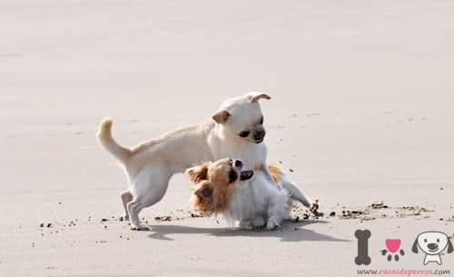 Perros pequeños chihuahua riñendo