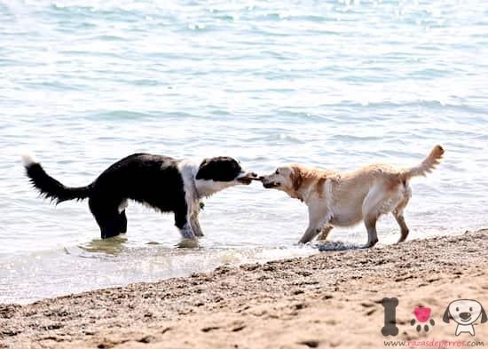 Dos perros grandes jugando en la playa con un palo