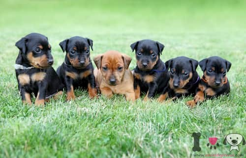 Cachorros de pinscher