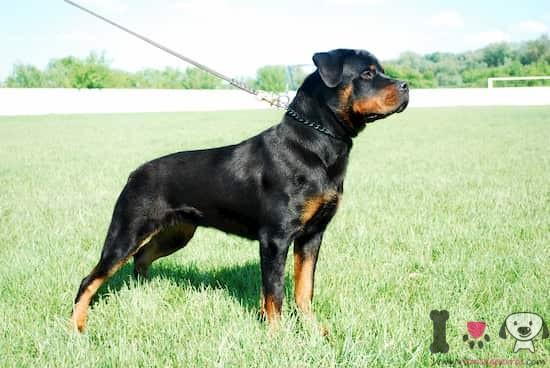 Rottweiler macho grande