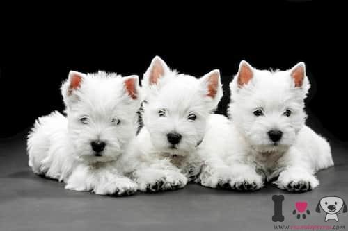 Tres perros westy