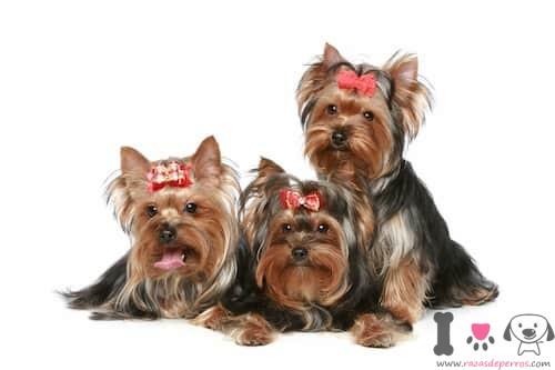 Tres perros yorkshire terrier pequeños