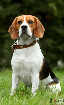 Hembra de beagle mediana
