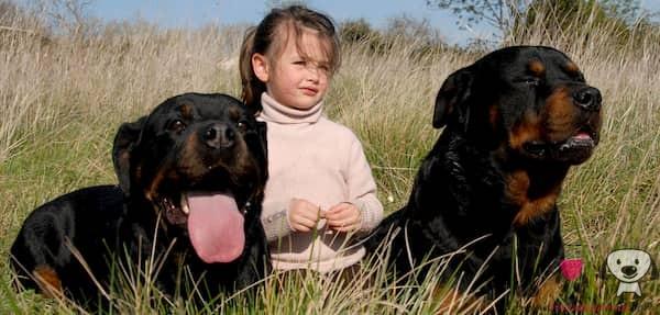 perros grandes rottweiler con una niña