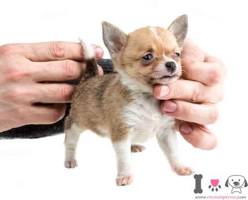 Perro toy chihuahua
