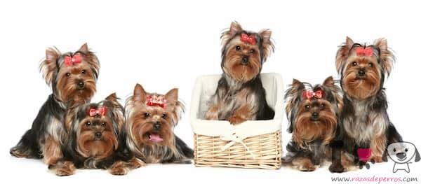 Perros pequeños raza yorkshire terrier