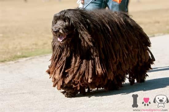 Perro macho de raza Bergamasco