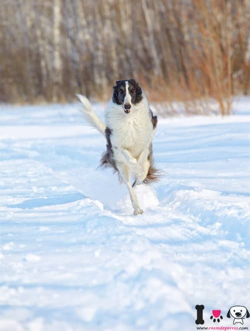 borzoi blanco y negro corriendo por la nieve