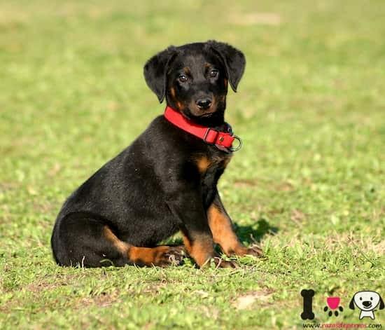cachorro de beauceron con 3 meses