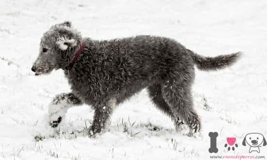 cachorro de bedlington terrier color gris