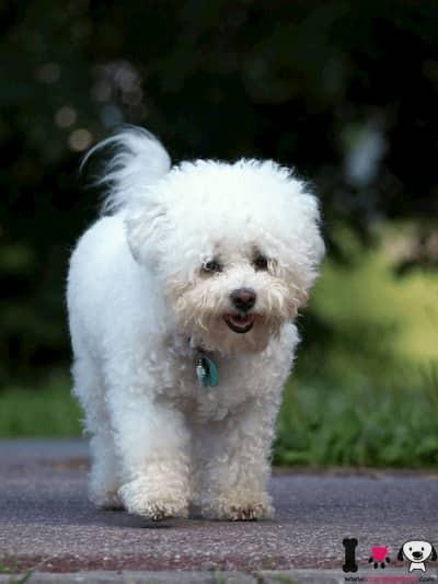 cachorro de bichon boloñes