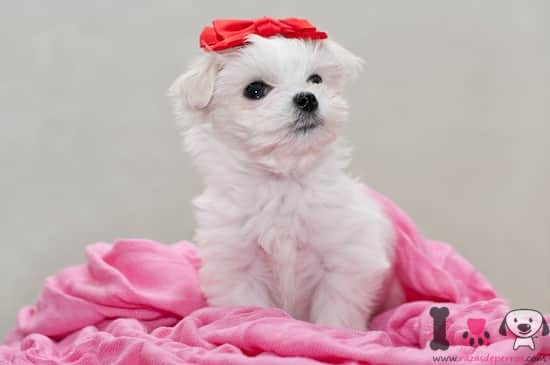 Cachorro hembra de bichón maltés
