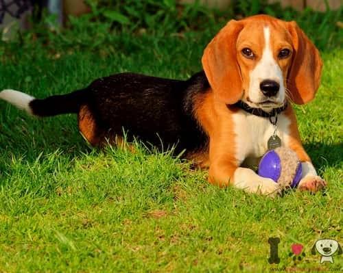 hembra de beagle con 3 años